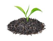 Stos wysuszona zielona herbata z świeżymi zielona herbata liśćmi odizolowywającymi Zdjęcia Royalty Free