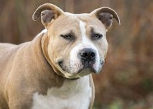 Stout American Staffordshire Pitbull Terrier dog royalty free stock images