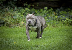 Stout blue nose pitbull posing in a field Royalty Free Stock Photography