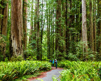 Stout Grove. Photographers in Stout Grove, Jedediah Smith Redwoods State Park, California Royalty Free Stock Photography