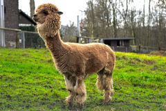 A stout Llama. A Llama chilling on a farm in Essen, Germany royalty free stock photography