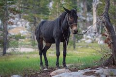 Black pack mule tied to tree Royalty Free Stock Photo