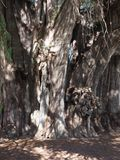 Stoutest trunk of the world of big Montezuma cypress tree at Santa Maria del Tule city in Mexico - vertical. Stoutest trunk of the world of big Montezuma cypress royalty free stock photos