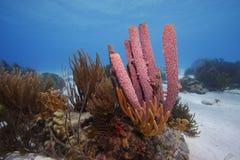 Stove-pipeschwamm (Aplysina archeri) Stockfotografie