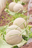 Stow of harvested Japanese musk melons Stock Photos