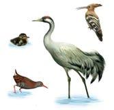 Kranfågeln, duckling, bevattnar stången Fotografering för Bildbyråer