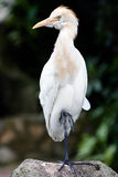 Sträcka på halsen fågeln som vilar, genom att stå på en fot Royaltyfria Foton