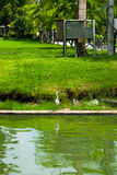 Sträcka på halsen på kanten av vatten, det väntande på rovet, Lumpini parkerar, Bangkok Arkivfoton