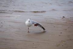 Sträckning av seagullen Arkivfoton