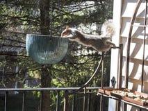 Sträckt balansera den Grey Squirrel Investigating Ceramic Hanging krukan på däck arkivfoto