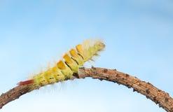 Sträckt larv Arkivbilder