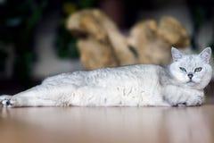 Sträckt till dess fulla längd, kopplar av den älskade ljusa katten som ut sträcks i dess hela längd lazily, på golvet, tiredly Royaltyfri Fotografi