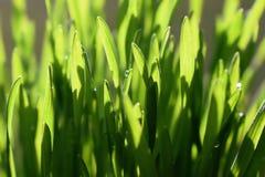 Stränge des grünen Grases mit Wassertröpfchen lizenzfreie stockfotografie