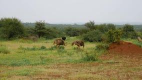 Sträuße, die auf der Weide der afrikanischen Savanne weiden lassen stock video footage