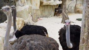 Sträuße lassen laufen und picken sich, Tiere im Zoo, riesiger Vogel, Abschluss oben des Straußes, Wüstenfauna, am Zoo stock video footage