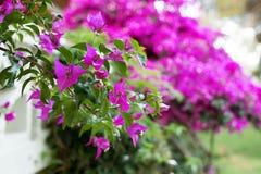 Sträuche des Bouganvillas in der Blüte Stockfotografie