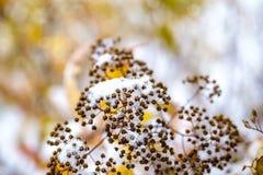 Sträuche mit den Niederlassungen umfasst mit weißem Schnee Winter Stockbild
