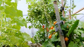 Sträuche mit Gemüse wachsen im Gewächshaus stock footage