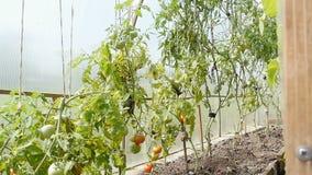 Sträuche mit Tomatenstand im Gewächshaus stock video footage