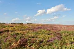 Sträuche und Heide auf Dunwich-Heide Stockfotos