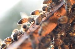 Strävsamma bin på honungskakan Arkivbild