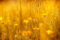 Strålar av inställningssolen på gula blommor Arkivfoton