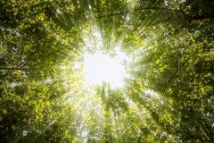 Strålar av ljus till och med sidorna av träden Royaltyfri Foto