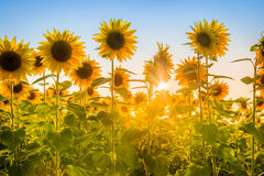 Strålar av resningsolen som bryter till och med solrosväxtfält Royaltyfri Bild