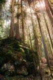 Strålar av solen mellan träden i den alpina skogen Arkivfoto