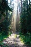 Strålar av solen som bryter till och med sörjaträden Arkivbild