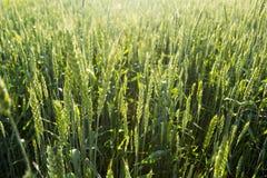 Strålar för vetefält och sol arkivfoton