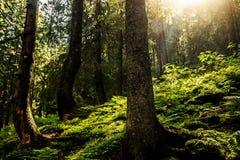 Strålarna av solen i kronorna av träd arkivfoto