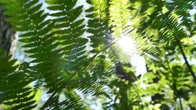 Strålarna av solen skiner till och med sidorna av ormbunken i den härliga vårskogen arkivfilmer