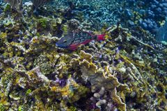 Strålkastareparrotfish i initial fas Royaltyfria Bilder