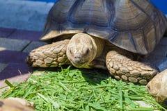 Strålningssköldpadda som äter druvasidor i trädgården, stående av strålningssköldpaddan, strålningssköldpaddan från söder av royaltyfri bild