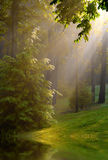 Strömen des Sonnenscheins im Holz Lizenzfreie Stockbilder