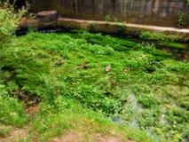 Strömen Sie voll von den Algen blühen, wo vier Enten auf der Vegetation von einem städtischen Fluss stillstehen stockfoto