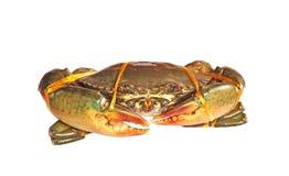 Strömförande krabban stock illustrationer