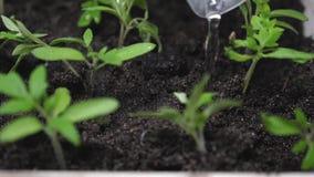 Strömmen av vatten faller på de gröna forsarna och absorberas in i grundvatten groddarna i växthuset plantor in stock video