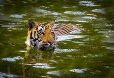 Ströva omkring för tiger som är löst Fotografering för Bildbyråer