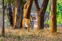 Ströva omkring för tiger som är löst Arkivbild