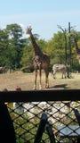 Ströva omkring giraffet Arkivbild