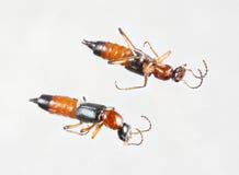 Ströva skalbaggar eller paederusfuscipes Royaltyfri Bild