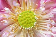 Strąk święty lotos Fotografia Stock