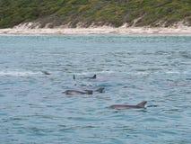 Strąk bottlenose delfinów Tursiops ścina wierzchołek, zachodnia australia Fotografia Stock