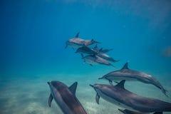 Strąk dzicy delfiny podwodni obraz stock