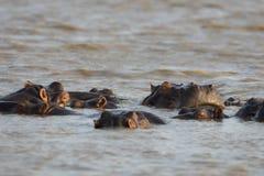 Strąk hipopotam przy zmierzchem obraz royalty free
