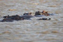 Strąk hipopotam przy zmierzchem obrazy stock