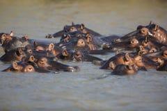 Strąk hipopotam przy zmierzchem fotografia stock