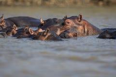 Strąk hipopotam przy zmierzchem zdjęcie stock